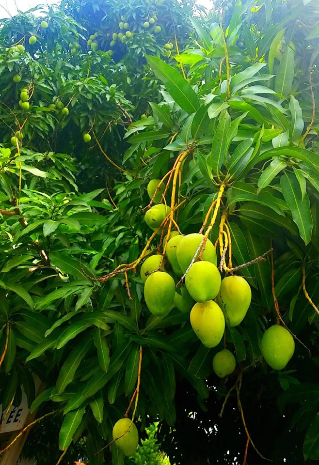 abundant natural farming mangos
